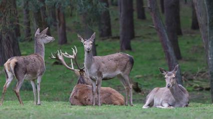 Red Deer in woods