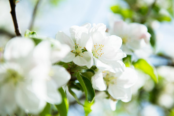 Apple blossoms. Blooming apple tree branch with large white flowers. Flowering. Spring. Beautiful natural seasonsl background with apple tree's flowers.