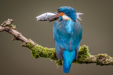 Fototapete - Adult Kingfisher Hunting