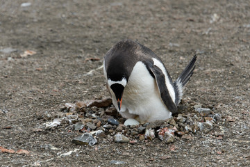 Gentoo penguin with egg in nest