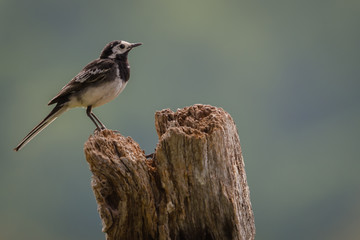 Fototapete - Pied Wagtail perched on a stump