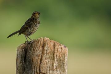 Fotoväggar - Young Fledgling Robin