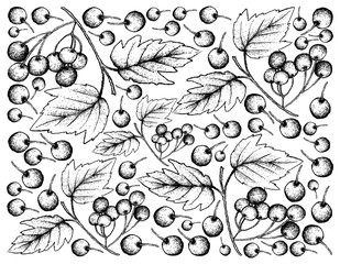 Hand Drawn Background of Fresh American Cranberries