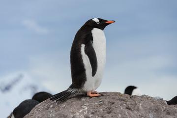 Gentoo penguins on stone