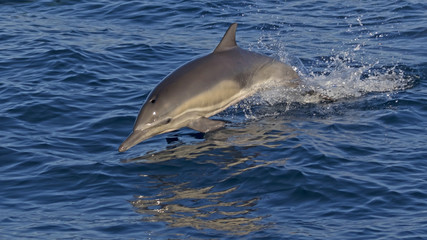 Dolphin jumping at the Pacific Ocean shore