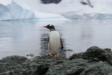 Gentoo penguin on rock