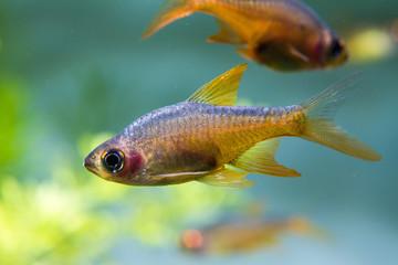 Fire Rasbora Fish (Rasboroides vaterifloris)