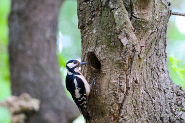 Cute Woodpecker on tree. Green forest background.
