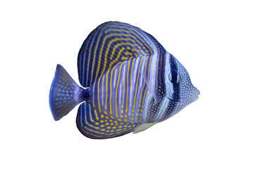 Wall Mural - Marine fish on white isolated background with clipping path. Red Sea sailfin tang (Zebrasoma desjardinii)