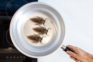 Preparation of edible insects on a cooktop. Fried cockroaches in a pan.