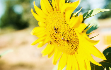 Sunflower with bees, close up photo