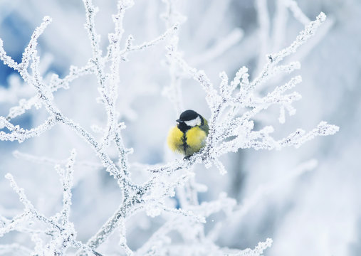 cute little chickadee bird sitting among the tree branches covered with cold snow flakes and crystals of frost