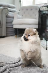 Pomeranian teacup puppy