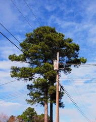 pine trees in spring