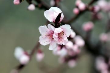 Kirschblüten im Frühling, rosablühend, Detailaufnahme