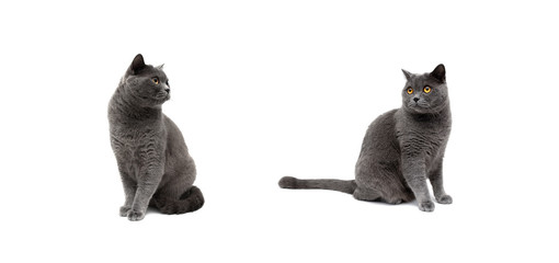 gray cats on a white background