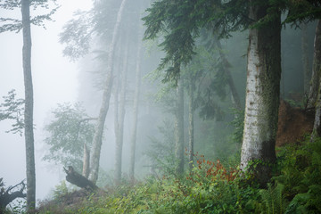 Picture of foggy forest with trees, plants, fern