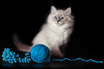Fluffy funny kitten Nevskaya Masquerade , playing with a ball of woolen threads on a black background.