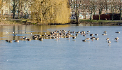 many wild geese and ducks in the water on frozen lake
