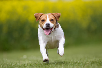Happy and smiling Danish Swedish Farm dog running