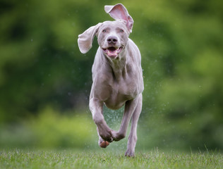 Purebred Weimaraner dog outdoors in nature