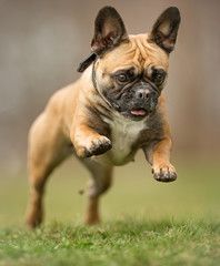 Spoed Foto op Canvas Franse bulldog French bulldog