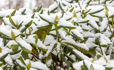 Rhododendron plant with snowy leaves