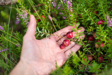 picking cranberries in forest
