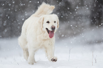 golden retriever runs outdoors on the snow