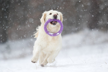 active dog in winter, breeds golden retriever