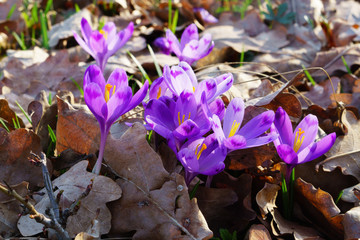 Beautiful colorful magic blooming first spring flowers purple crocus in wild nature. Selective focus, close up, copy space, horizontal.