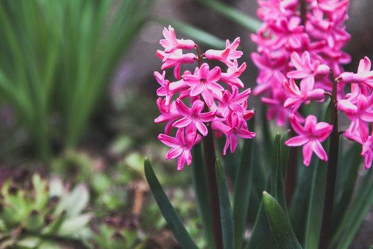 Bright pink hyacinth flowers grow on vegetable garden