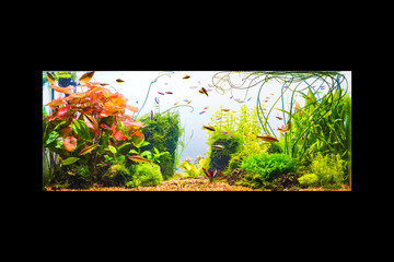 Underwater jungle in tropical fresh water aquarium with live dense red and green plants, different fishes and white background isolated on black