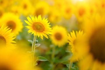 Field of sunflowers / Поле подсолнухов