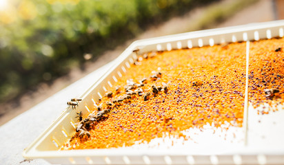 Beekeeping. Bees and pollen