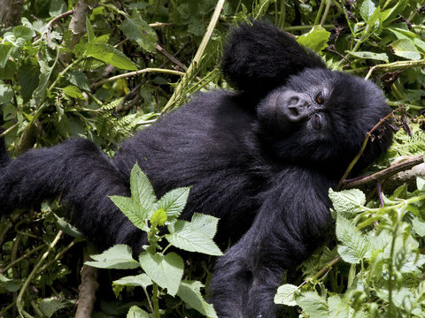 Virunga Mountains, Rwanda, Africa. Mountain Gorilla.