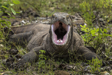 Indonesia, Komodo Dragon National Park. Komodo dragon with open mouth.