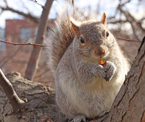 A squirrel that is in a tree, eating an almond vey happily.