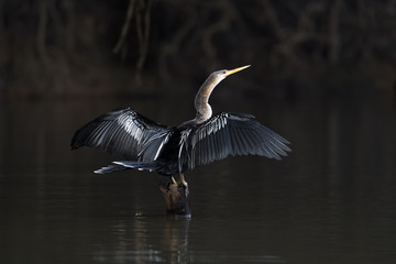 Brazil, The Pantanal. An anhinga perches of a snag while drying its wings