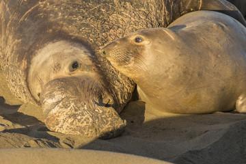 USA, California, San Luis Obispo. Northern elephant seal bull and cow.