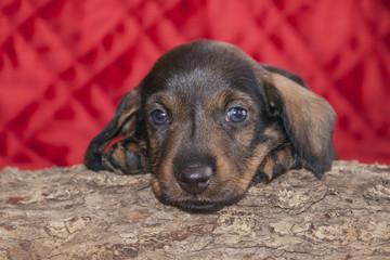 Doxen puppy