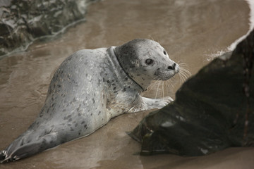 USA, Oregon, Bandon Beach. Lost harbor seal pup on beach.