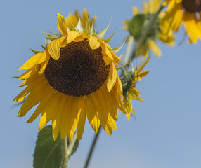 Sunflower starting to wilt with a blue sky above