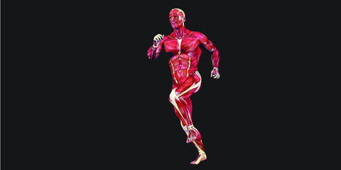 Human Body Anatomy Illustration With Visible Muscles and Tendons