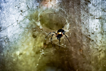Black and yellow spider on web with brown background
