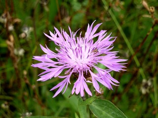 Цветок Серпуха Венценосная крупным планом