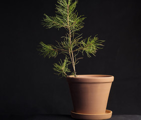 in a clay pot the sprig of pine is all on a black background, the tissue base