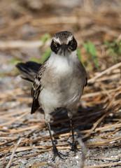 Galapagos Mockingbird (Mimus parvulus), Genovesa Island, Galapagos Islands, Ecuador