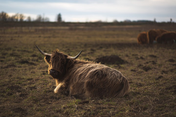 Poster Highland Cow Scottish Highland Cattle