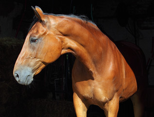 Bay purebred dressage sports horse in dark stable